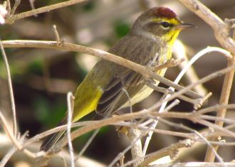 Face to Palm: Finding the Palm Warbler in Ocean Shores
